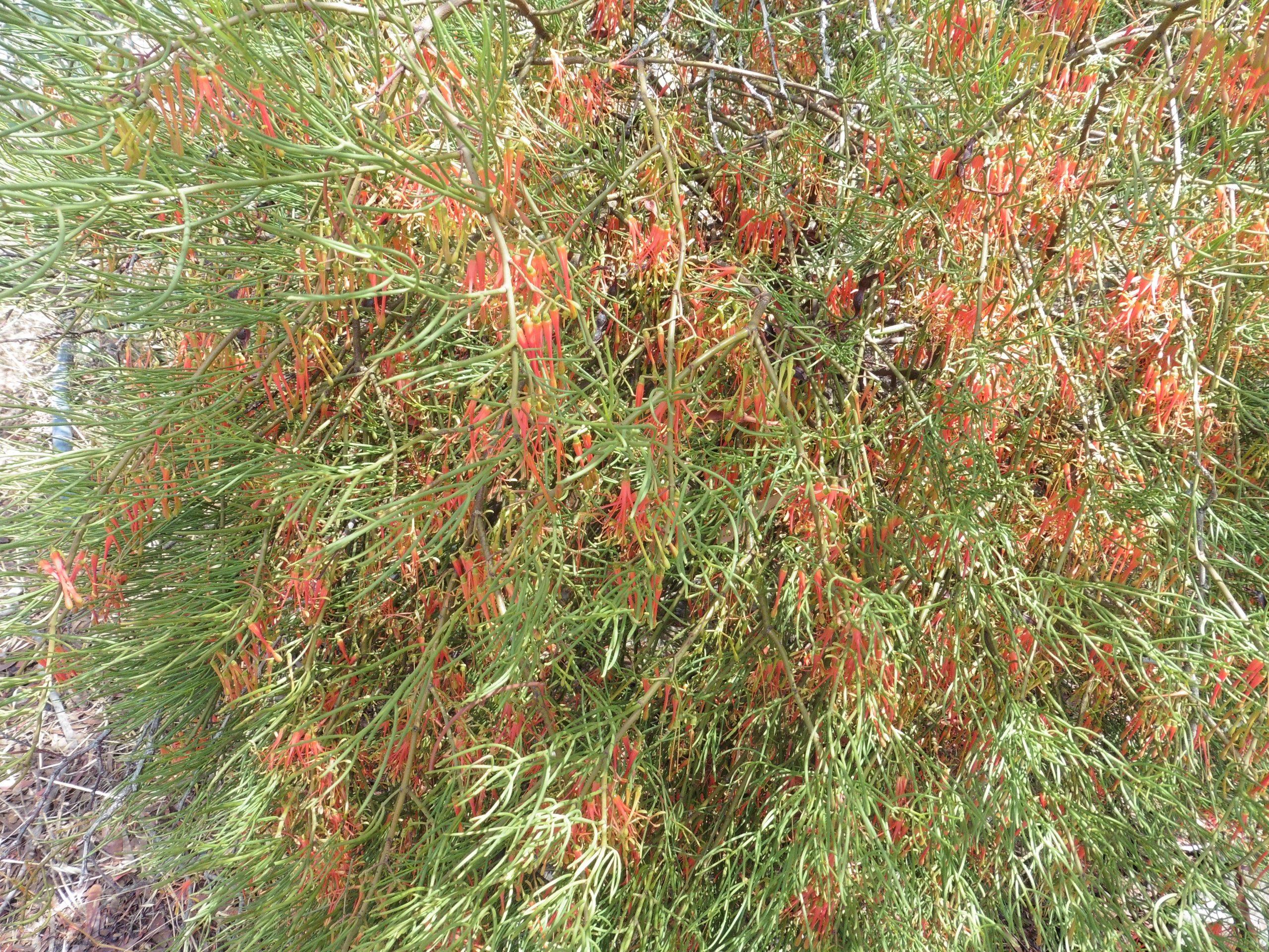 Wire leaved Mistletoe - Amyema preissii