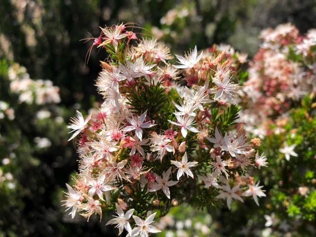 Fringe Myrtle -Calytrix tetragona