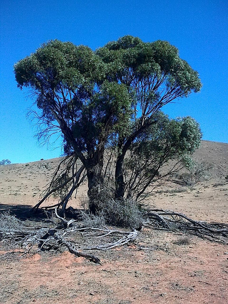 Narrow leaved Peppermint Box - Eucalyptus cajuputea
