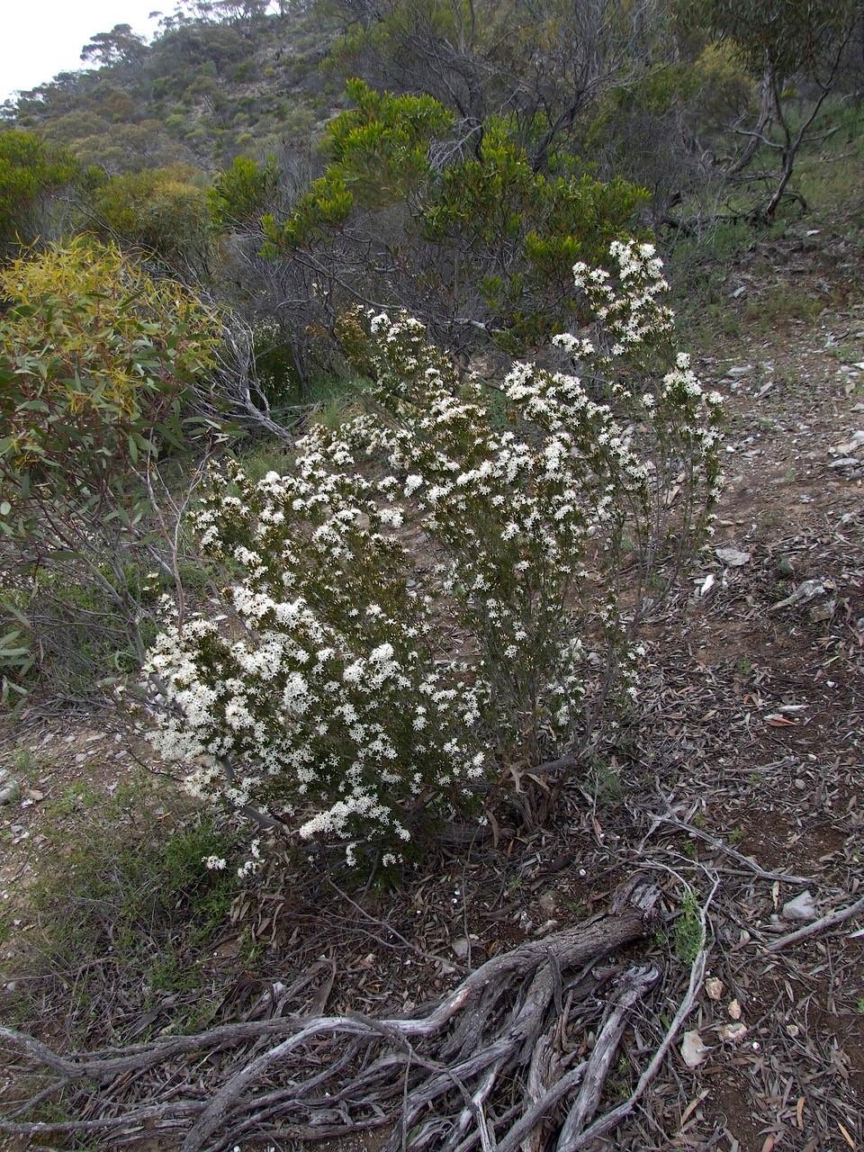 Fringe Myrtle - Calytrix tetragona