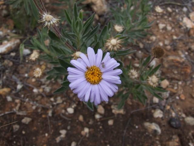 Rasp Daisy - Olearia picridifolia