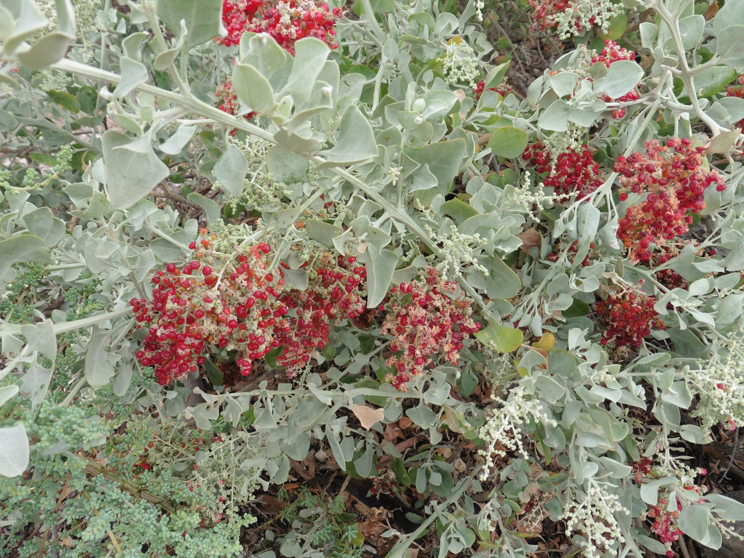 Fragrant Saltbush - Rhagodia parabolica