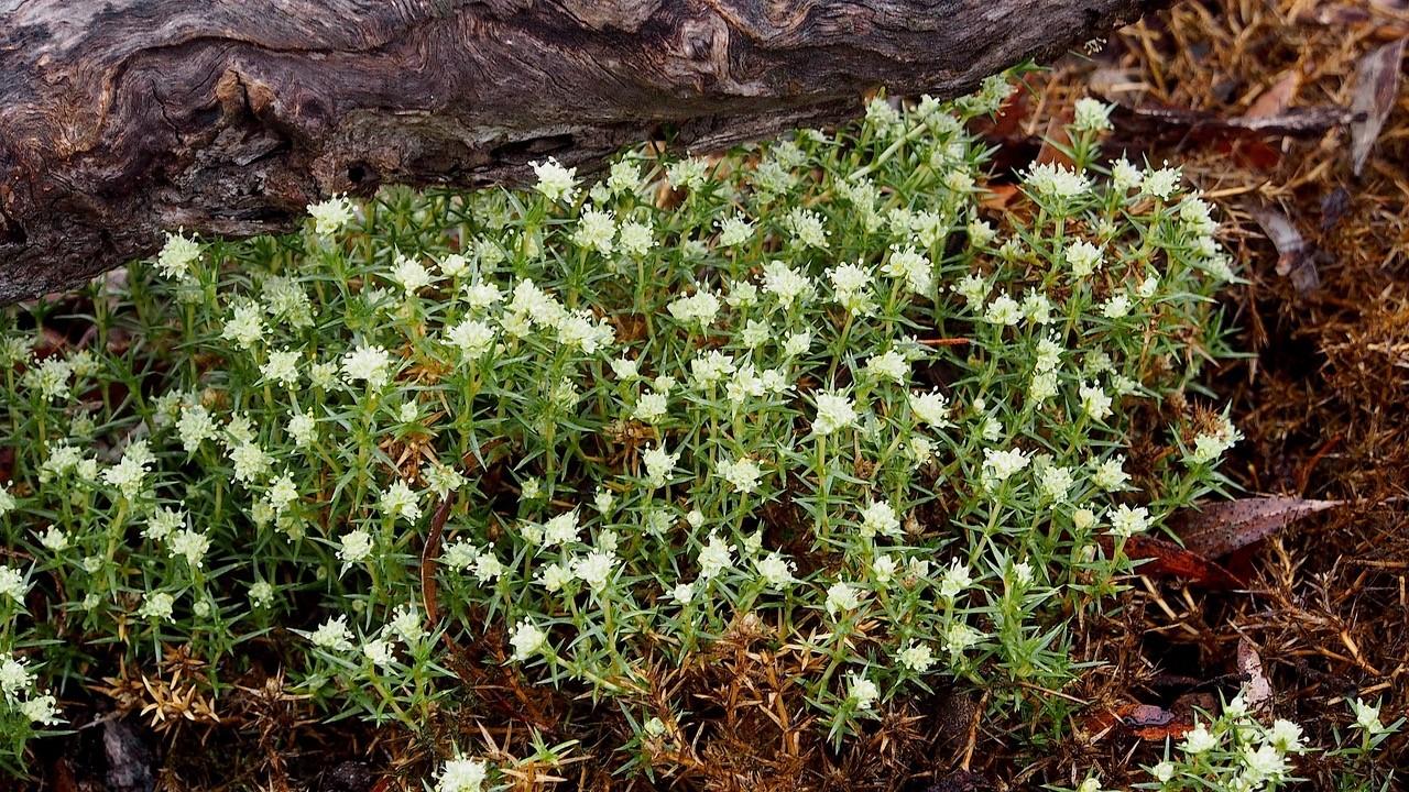 Prickly Knawel - Scleranthus pungens